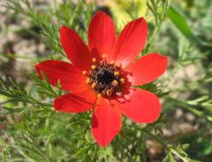 flor de adonis